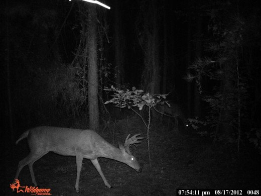 This is a typical 21/2yr old buck, caught on camera hanging out with his bachelor group.