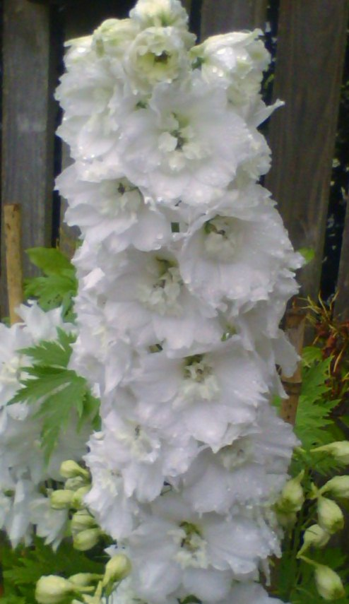 The purity of a flower. A Delphinium.