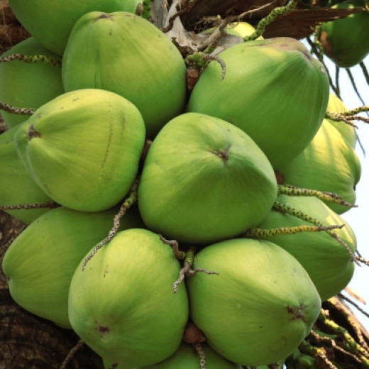 Young green coconuts where water is often harvested from
