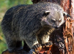 The Binturong or Asian Bearcat: The Only Mammal that Smells Like Popcorn