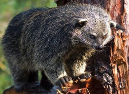 The Binturong, or Asian Bearcat is neither bear nor cat. This endangered mammal is found in Southeast Asia. The Binturong is the only animal known that smells like popcorn!
