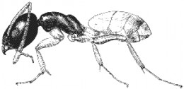 how to get rid of ghost ants naturally
