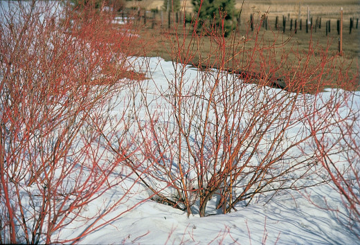 Red Twig Dogwood in winter