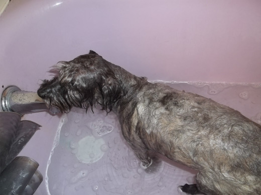 You may wish to let your dog soak in Dawn Dish Detergent for about eight minutes if they are a breed with longer hair.