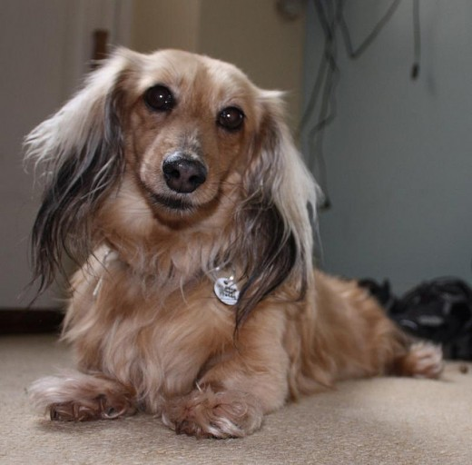 An adult Miniature Dachshund.