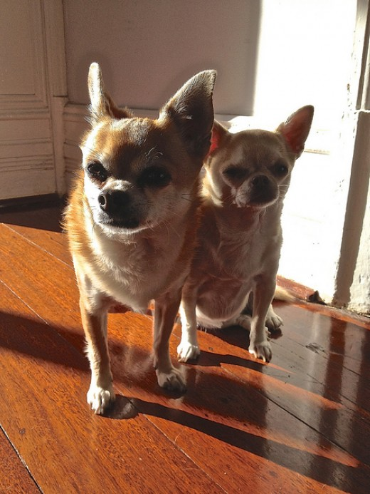Older Chihuahuas may hang out in gangs.