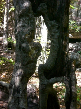 Hollow tree in Lost Valley, NW Arkansas