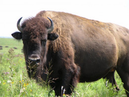 Buffalo once roamed the Canadian prairies by the millions.