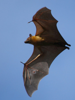 Except for fruit bats, all bats have exceptional eyesight.  Fruit bats have poor eyesight, but they can see.
