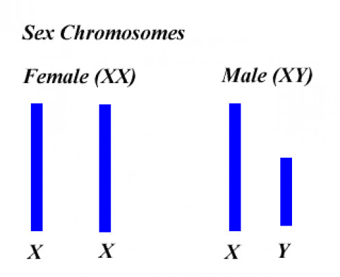 SEX CHROMOSOME