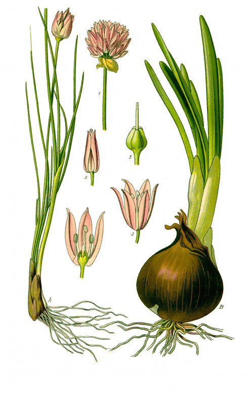 illustration of Allium schoenoprasum