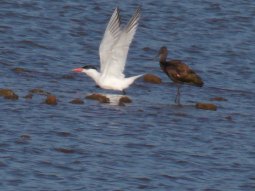 Forster's Tern(left) and Long-Billed Curlew(right)
