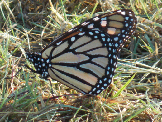 Monarch Butterfly with wings closed