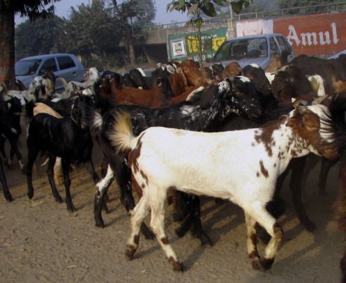 Hordes of goats going past the gate of Race Course.