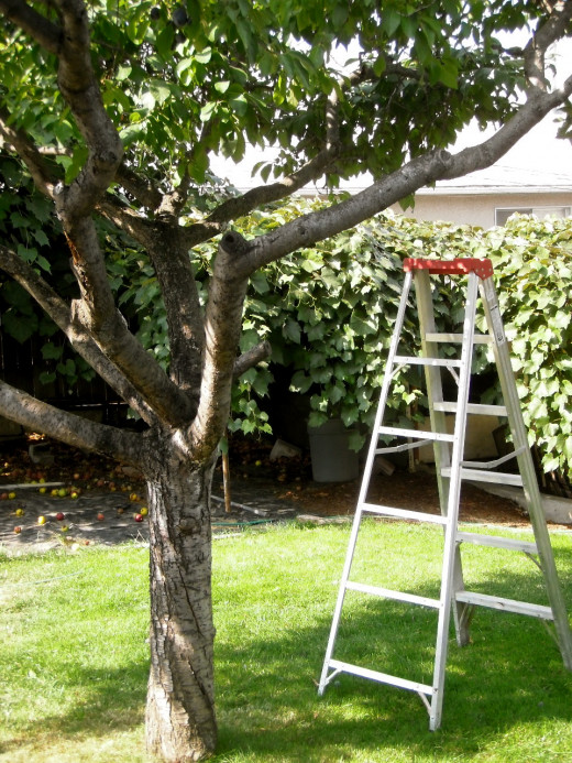 The ladder is waiting under the plum tree.