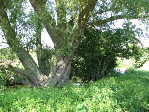 A very old willow tree