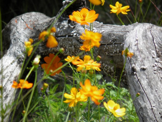 Wild flowers blooming around a fallen dead tree