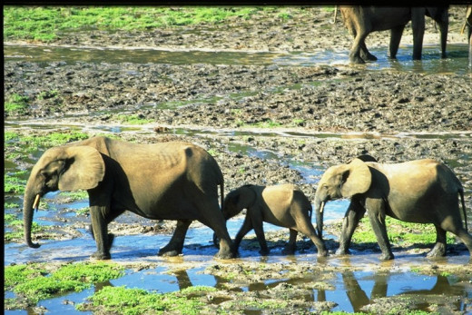 A female with a young calf and a slightly older calf  striding through the Dzanga.