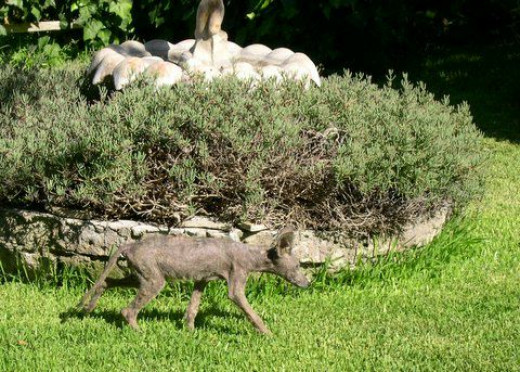 Coyote with mange (2008)