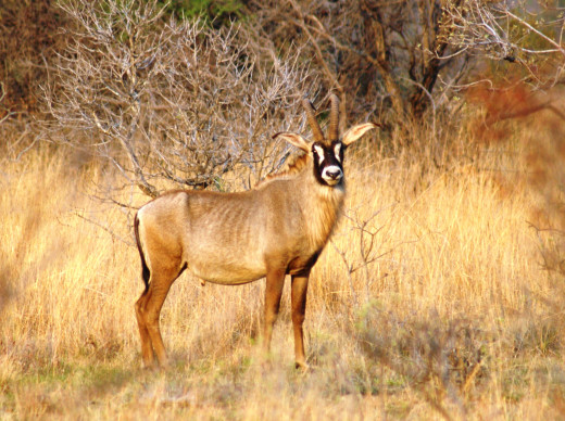 Rare and magnificent Roan Antelope