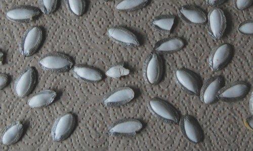 Silver edge squash seeds
