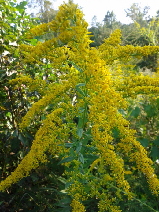 The various shapes of goldenrod are used to classify the different species.