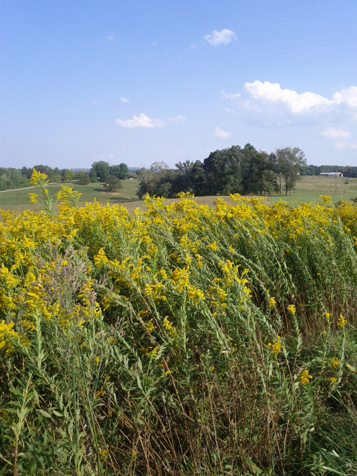 Goldenrod is a favorite fall wildflower for many.
