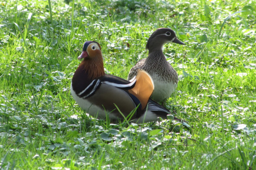 Ducks in a park in Leipzig, Germany - these are used to humans.