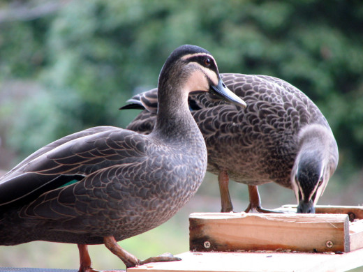 Skittish ducks on my bird feeder - I had no idea they ate seed! Taken from inside a glass door.