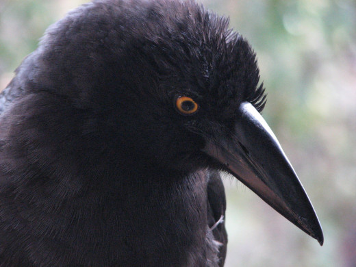 A currawong asking for apple - he would quite happily eat from my hand, Tasmania, Australia.