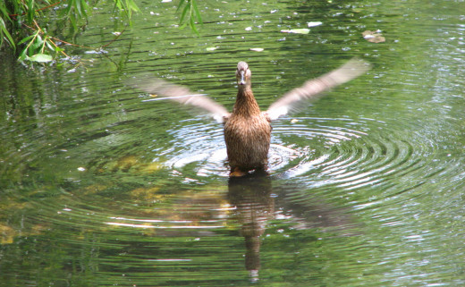 Shaking out water from its wings, a duck in a lake, Leipzig, Germany.