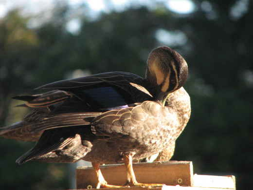 Preening at the bird feeder, ducks in Melbourne, Australia.