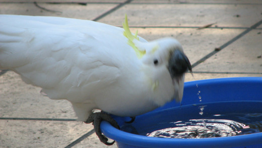 A cockatoo drinking - the head moved to fast, even though the feathers and water drops are in focus! Melbourne, Australia.