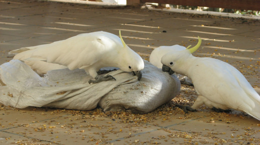 Cockatoos verses the seed bag - they won! Melbourne, Australia.