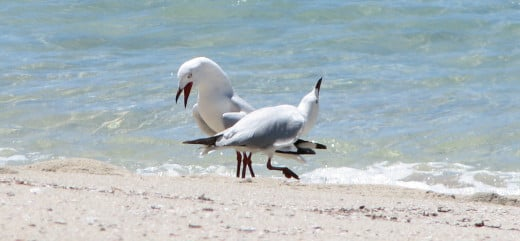 Seagulls dancing on a beach, Western Australia.