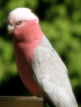 Capturing a female galah in a portrait orientation, with great background blur. This shot was taken through a wire fly-screen.