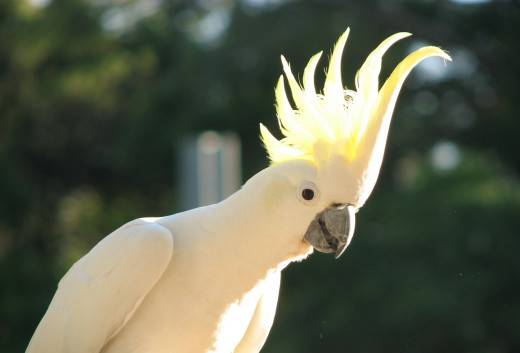 Sun gleams through the crest of the cockatoo.