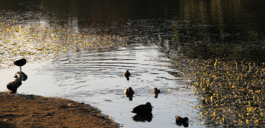 Golden hour, side/front-lit, ducks on a lake. Details are hidden in sleepy silhouettes.