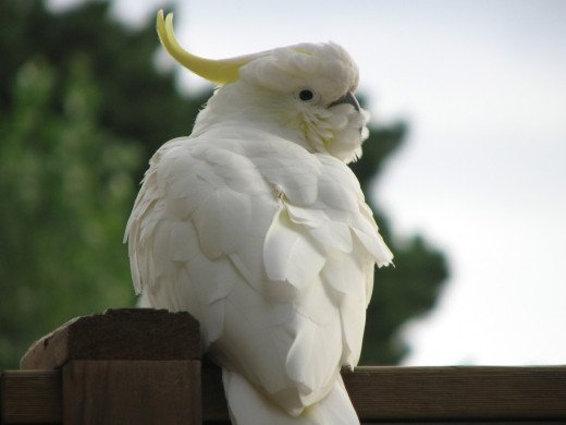 Towards dusk, a cockatoo waiting for the rest of his flock, Melbourne, Australia.