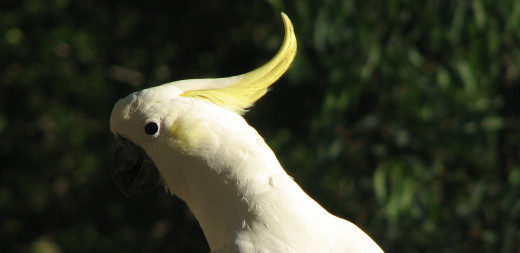 Facing away from the sun, too much detail is lost on the cockatoo's beak and eye. Neck and back feathers are over-exposed.