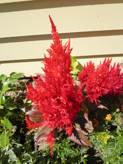 This lovely flower would make a beautiful centerpiece in any container garden.