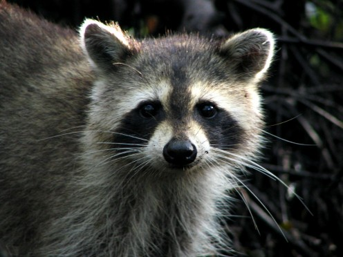 Raccoon with Black Bandit-Like Mask