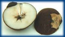 the white cellulose of the nut's endosperm is perfect for carving and dyeing.