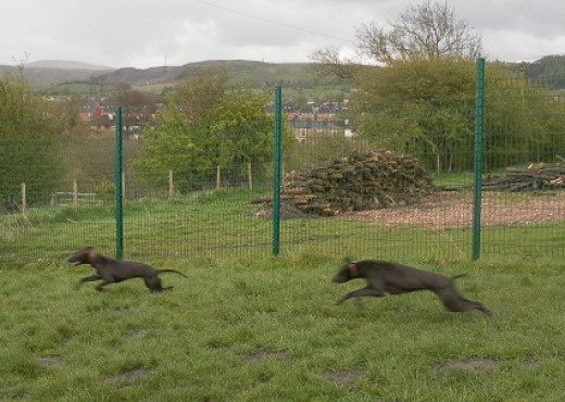 Enjoying a run in a boarding kennels exercise pen