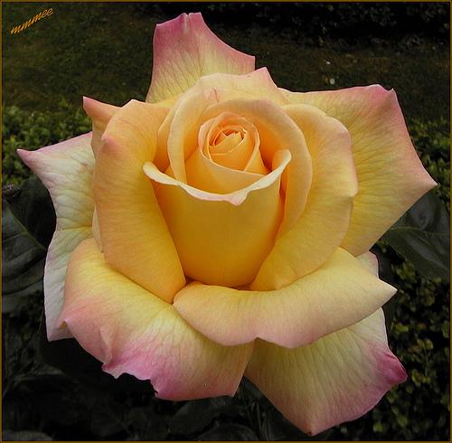 Beautiful 'Peace Rose'