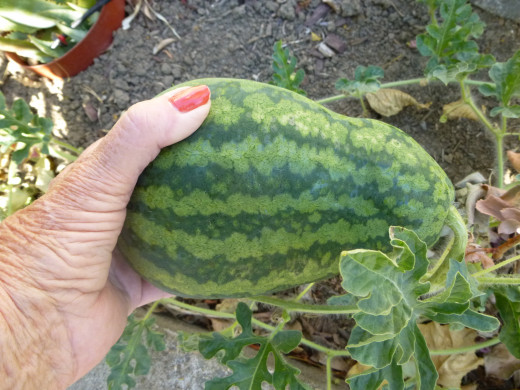 watermelon trying to grow up!