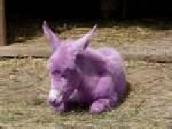 A purple Donkey with Elephant ears