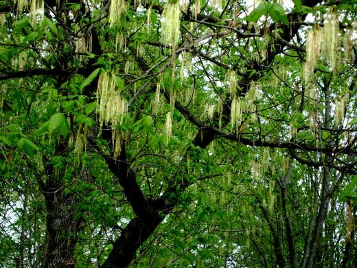Nashville trees to shade me along my walk.