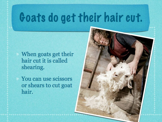From: Shearing Angora Goats