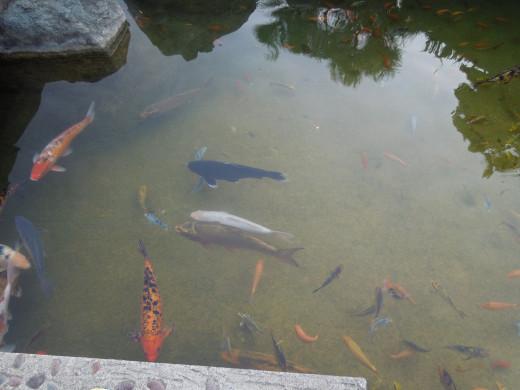 Japanese friendship garden kelly park in san jose ca for Japanese friendship garden san jose koi fish